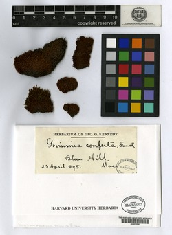 Schistidium confertum image