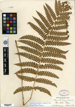 Osmundastrum cinnamomea image