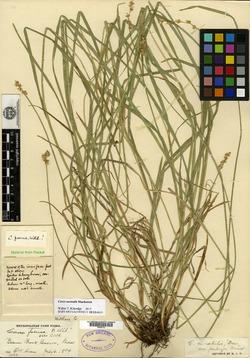 Carex normalis image
