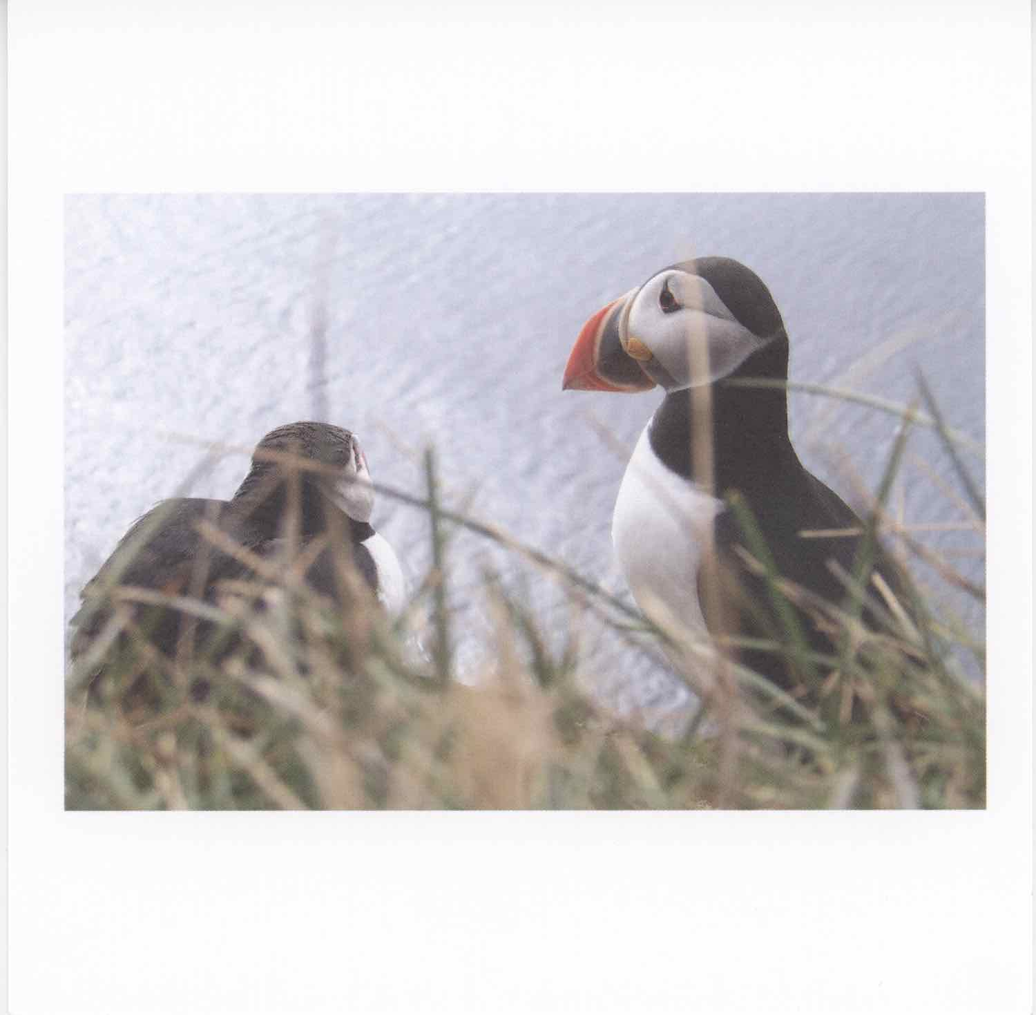 Two Icelandic puffin birds. The bird on the right is most visible. He's facing to the left. The bird on the left side of the photo is facing right, but he's tucked down sitting on the ground and looking out towards the ocean in the distance. The photographer is shooting through green and tan grass. The right side bird has a large, orange, yellow, and black beak and a cute whie and black face. His head is mostly black feathers, which wrap around to his back. His chest is white. The birds are unique looking, almost like penguins.