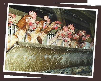 visuel poules