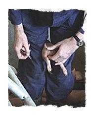 Contre la castration des porcelets Castration_12