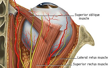 diagram showing the superior oblique muscle of an eye