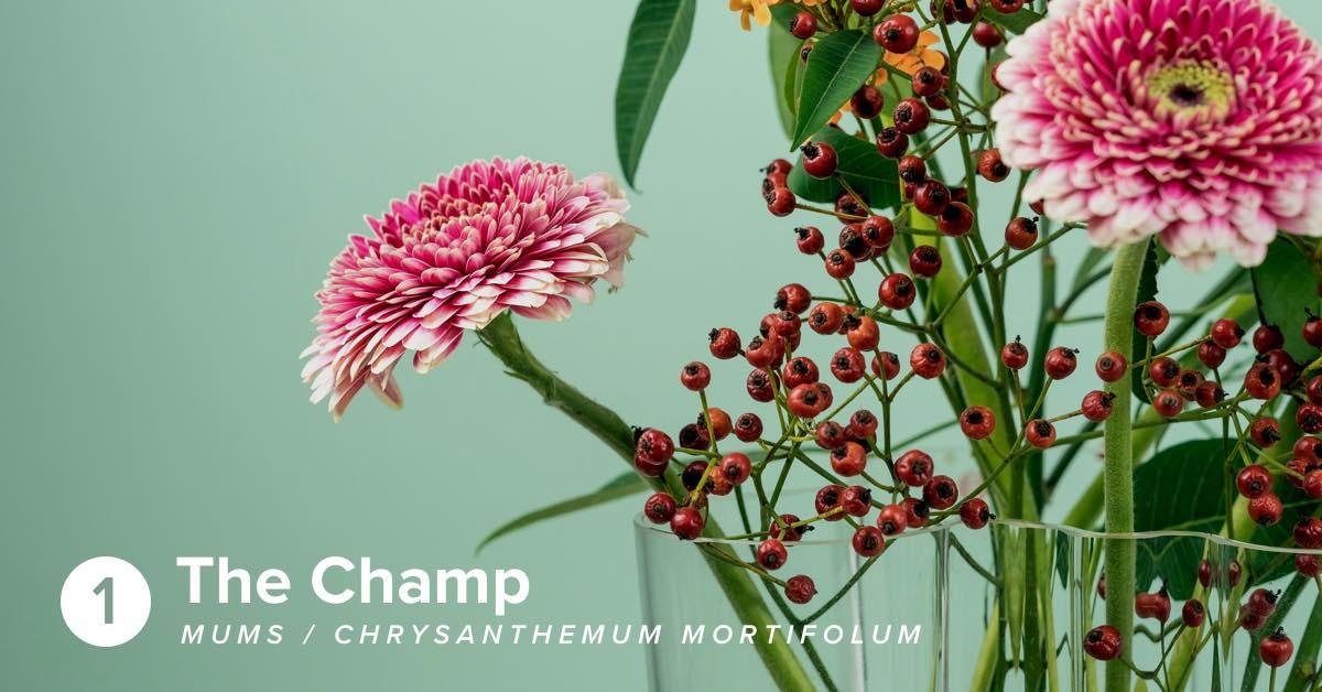 Hiller Mums Chrysanthemum 1