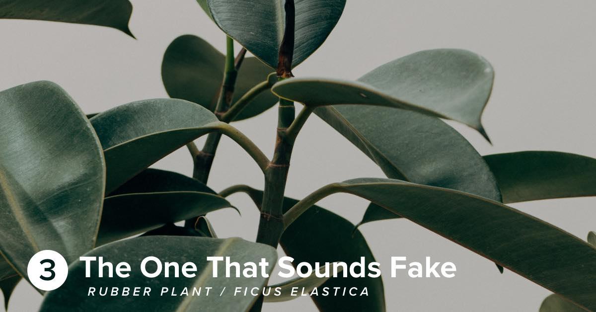 Hiller Rubber Plant Ficus Elastica