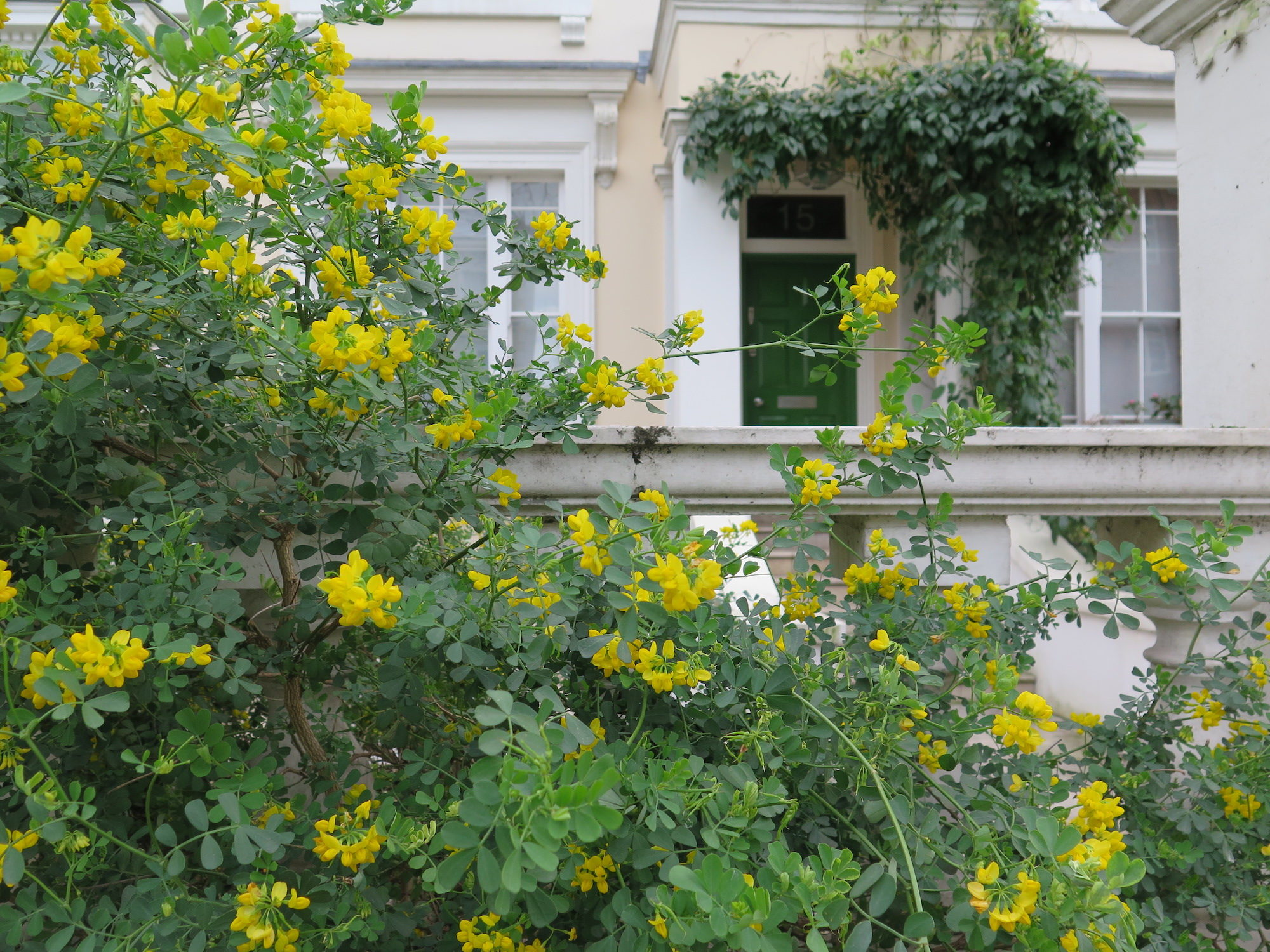 London is greener than Paris as there are more parks but also more trees and plant life in gardens and on side walks like this beautiful wild trees of yellow flowers in someone's front garden.