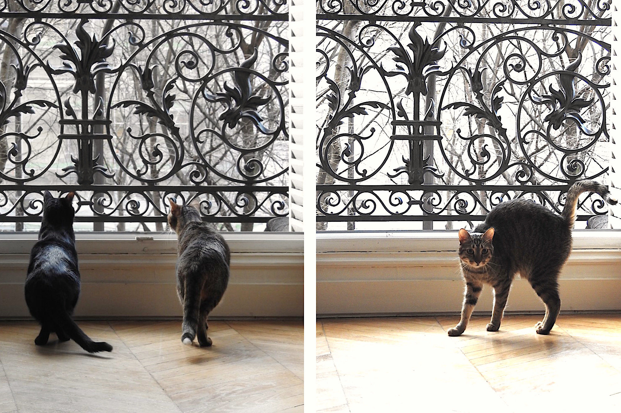Two sleek kittens standing and looking out of an open window through the ornate iron railings in a Paris apartment (left). One of the cats standing its back up, facing the camera, in front of an open window and ornate railings in a Paris apartment (left).