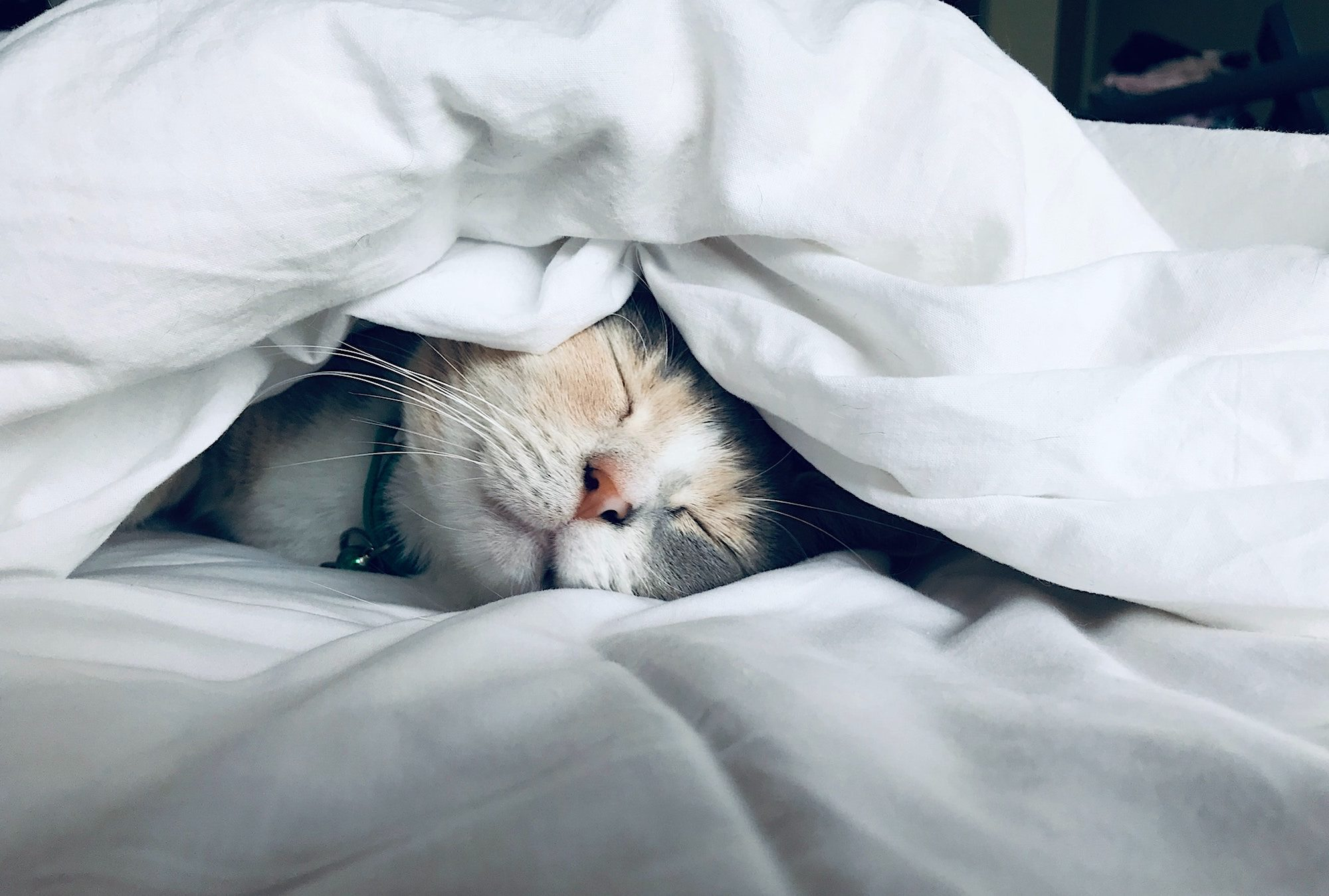 A very cute Calico cat sleeping happily wrapped up in the bed sheets, with only its head peaking through.