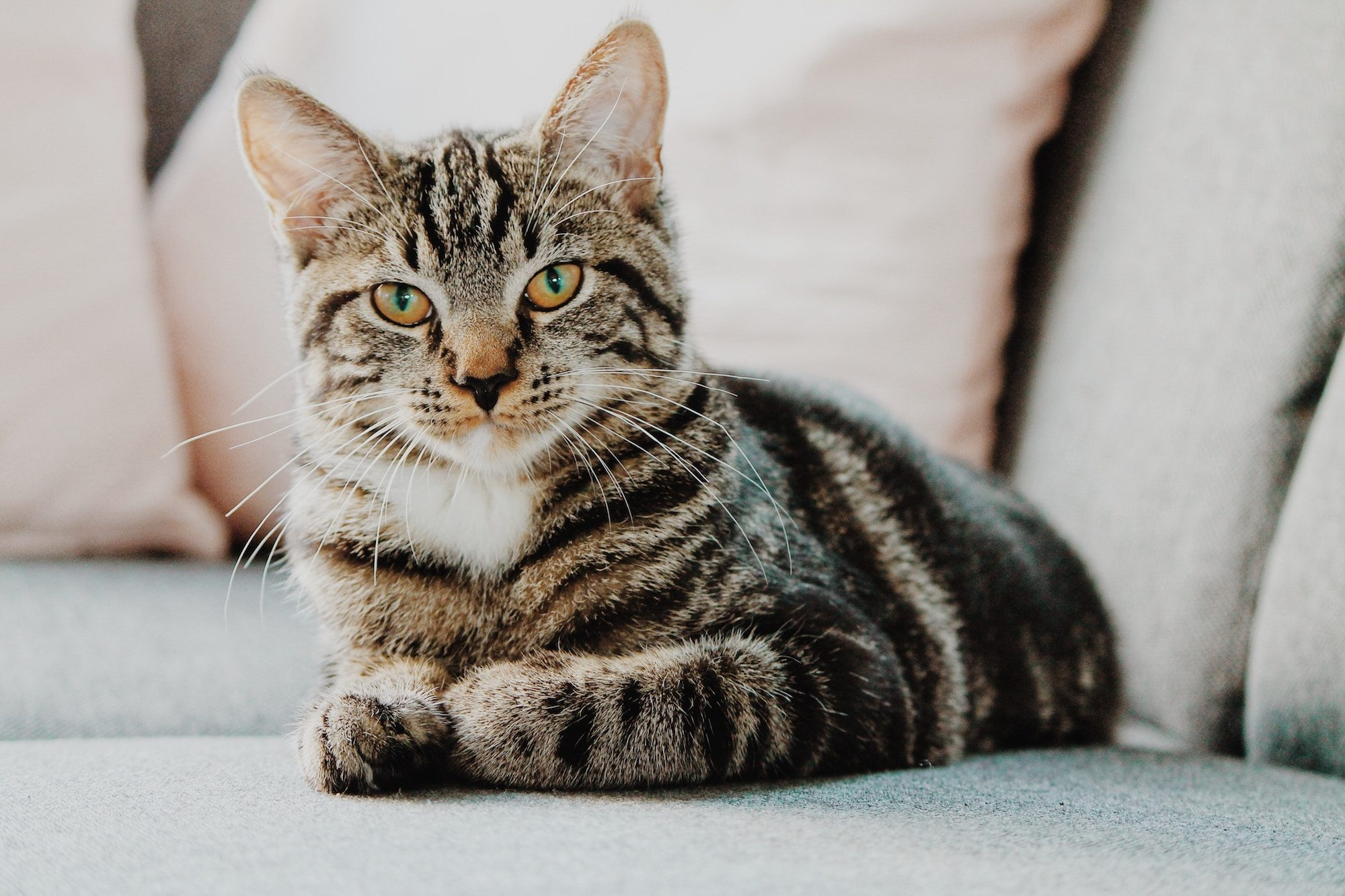 A striped brown and black cat lying with its paws tucked up underneath it on a couch, sulkily looking up.