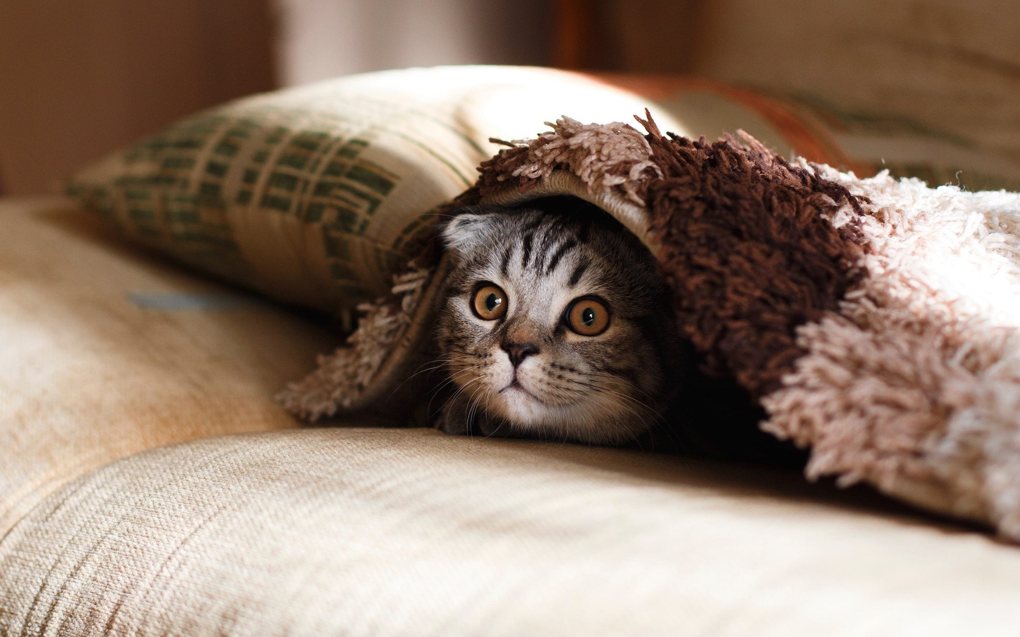 A cute striped grey cat with its head and large round caramel-colored eyes peeking out from under a blanket.