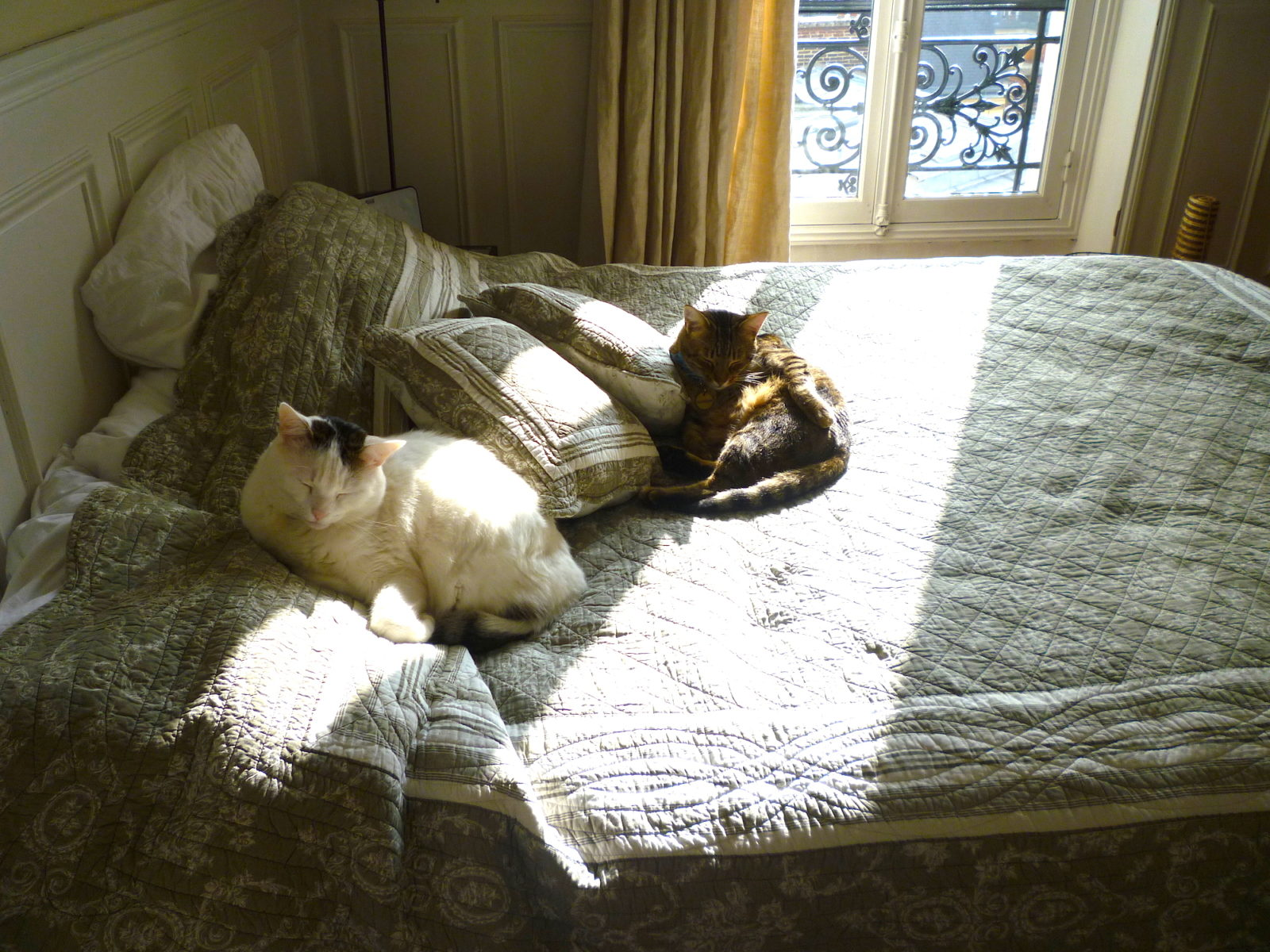 A sleeping fat fluffy white cat and smaller brown cat on a bed in streams of sunshine coming through the window of a Paris apartment.