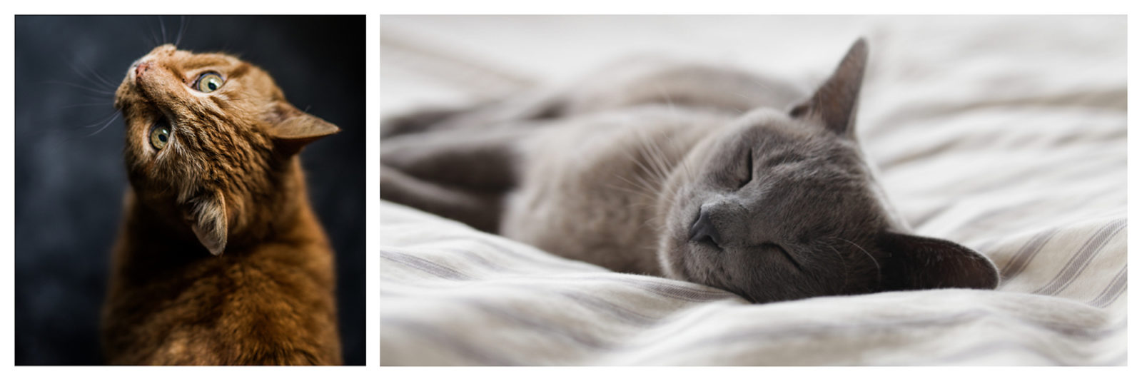A beautiful, sleek tabby cat with green eyes looking upwards (left). A soft gray cat happily sleeping on its side on a bed (right).
