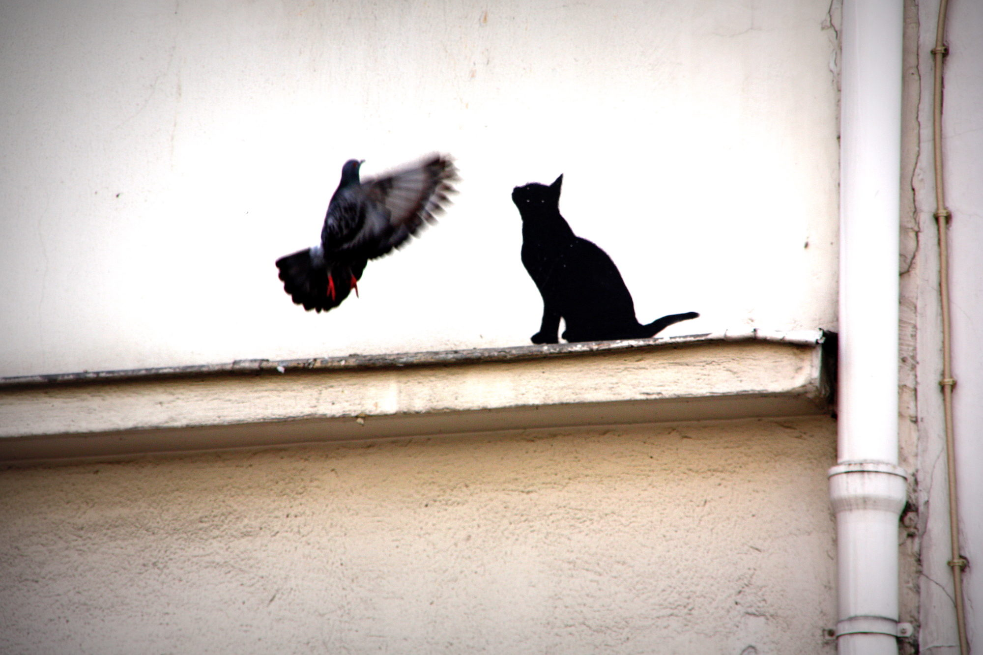 A black cat staring at a pigeon in panicked flight on a Paris rooftop.