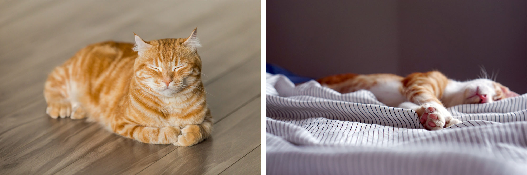 A fat orange striped kitty looking peaceful with its eyes shut lying on the parquet floors (left). Adorable orange and white tiger kitty sleeping on its side, all tangled up in blue and white striped bedsheets (right).