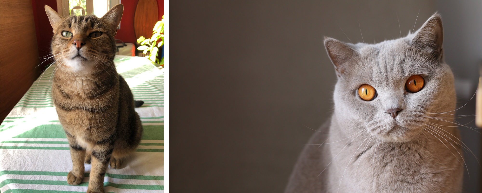 Italian brown tiger cat with green eyes sitting up on a dining table covered in a green and white striped cotton cloth (left). Soft, fluffy grey cat with yellow eyes, looking up rather mournfully.