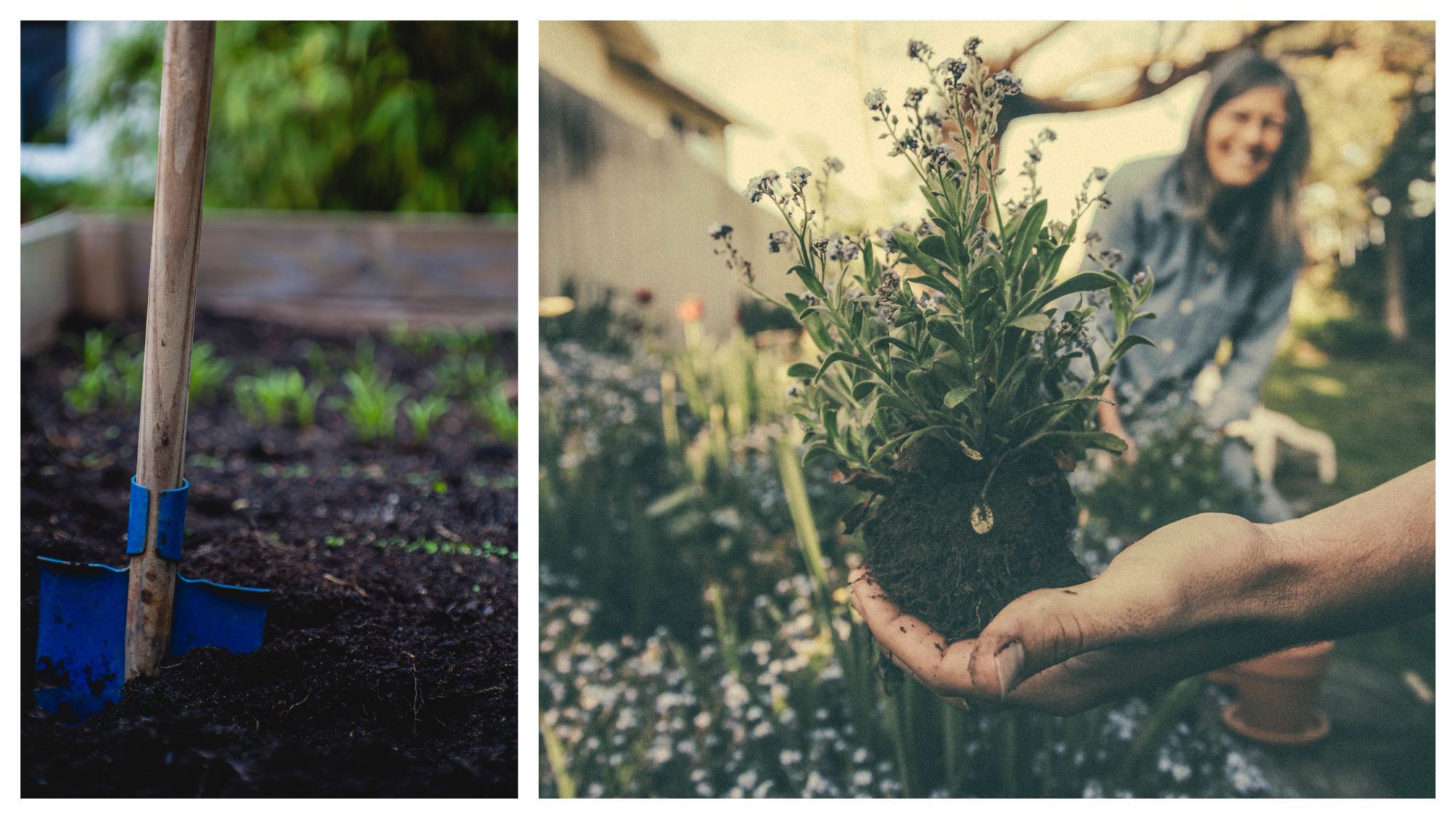 A blue shovel sticking out from a vegetable patch (left). Beautiful flower bulbs being held by a hand, with a woman smiling in the background (right).