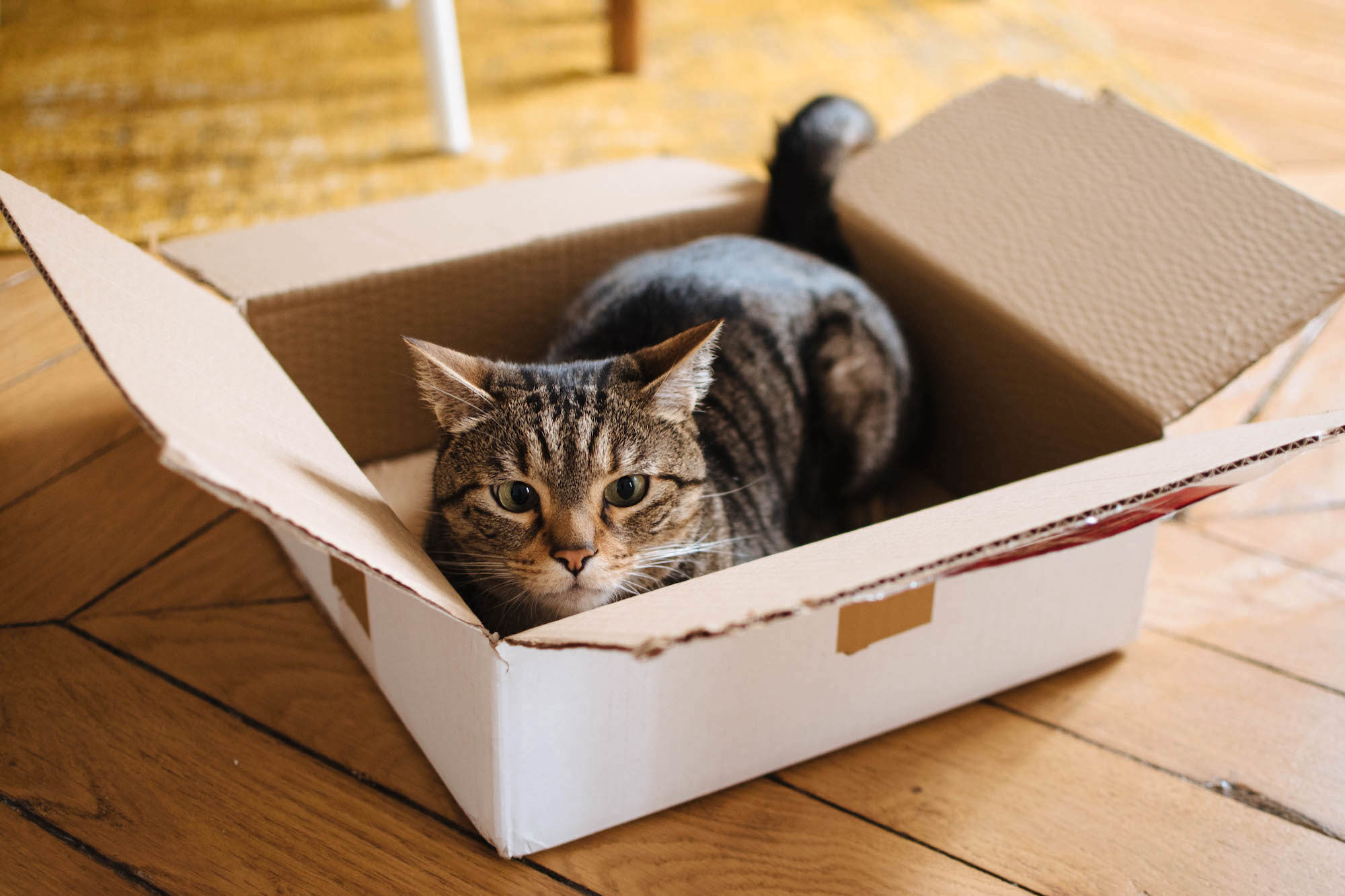 Lindsey Tramuta's cat Charlie sitting in a cardboard box in their apartment in Paris' 11th arrondissement.
