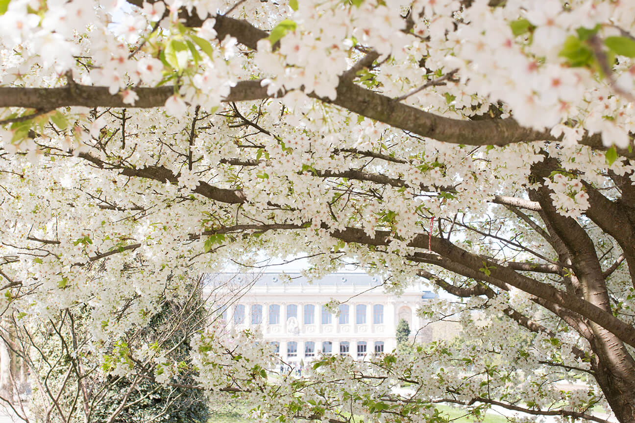 In the Jardin des Plantes, the botanical garden in the Latin Quarter of Paris, the regal Grande Galerie de l'Évolution is framed by a cascade of the white cherry blossoms, which bloom for just a week's time in the spring.