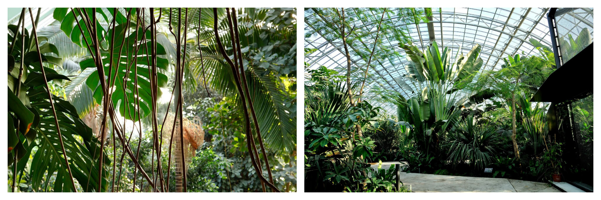 Beautiful, bright green plants grow in the greenhouse of the Jardin de Plantes in Paris' left bank