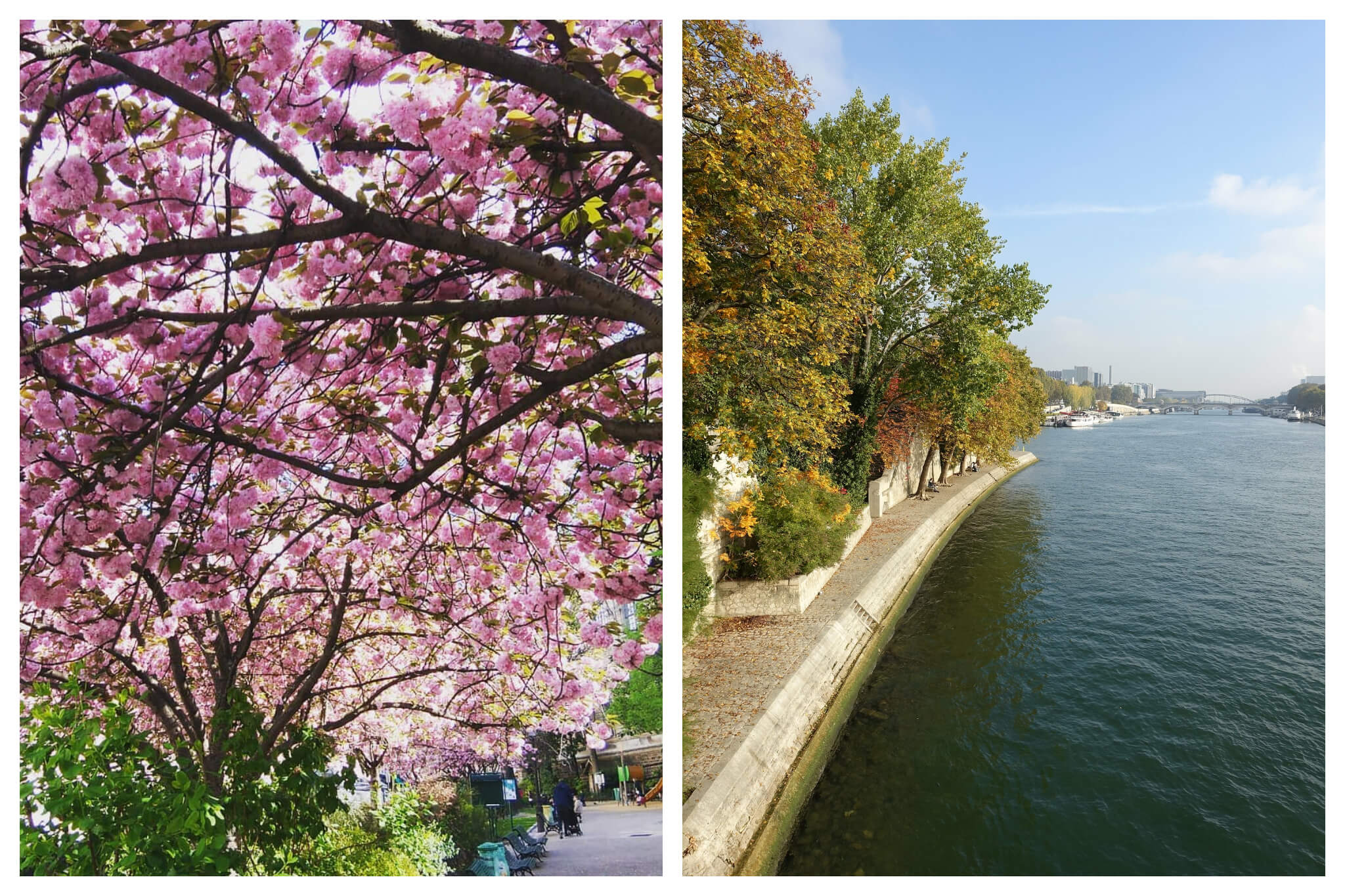 Left: Beautiful pink cherry blossoms are in full bloom on a tree in the Square Paul-Langevin, Right: Trees are in full bloom along the Seine at the Square Barye on a sunny spring day in Paris.