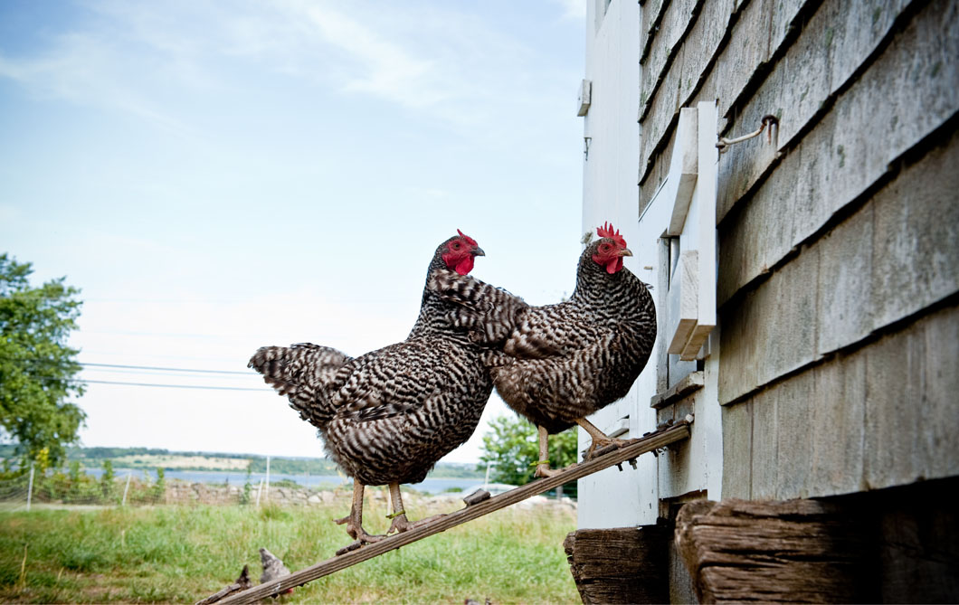 Dominiques are one of two heritage breeds of chickens raised at Casey Farm. Campers feed them and collect their eggs daily.