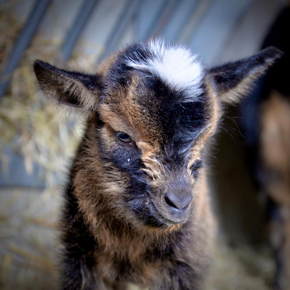 Comet the baby goat.