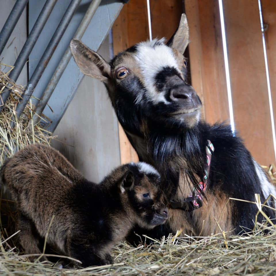 Mother calico goat and baby goat.