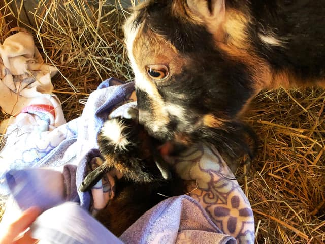 Mother goat nuzzles baby goat wrapped in towel.