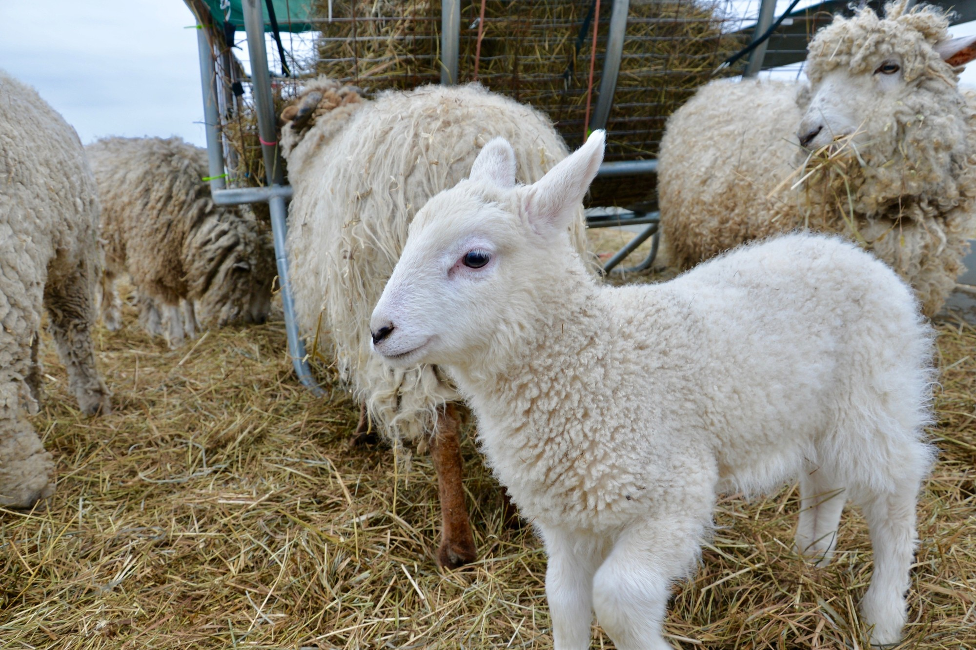 Hugo the baby goat