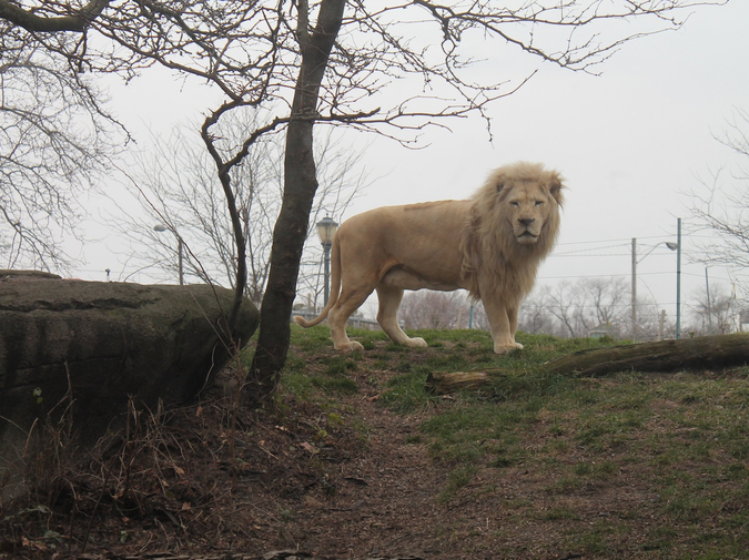 an additional Animal Collection Short: Lion photo