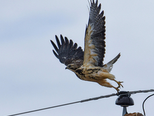 Vonnegut's Velvet-Clawed Hawk photo