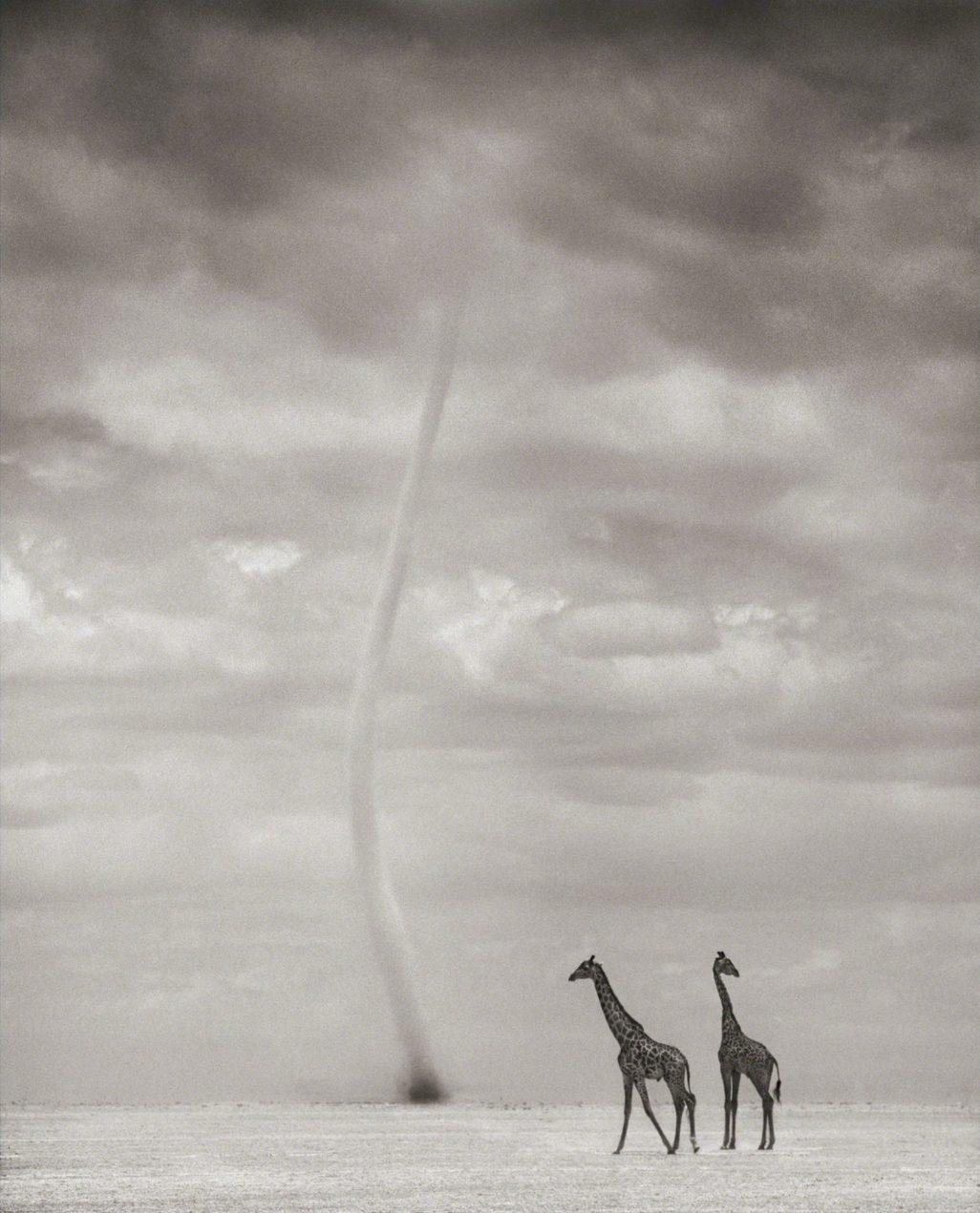 Giraffes in Dust Devil, Amboseli