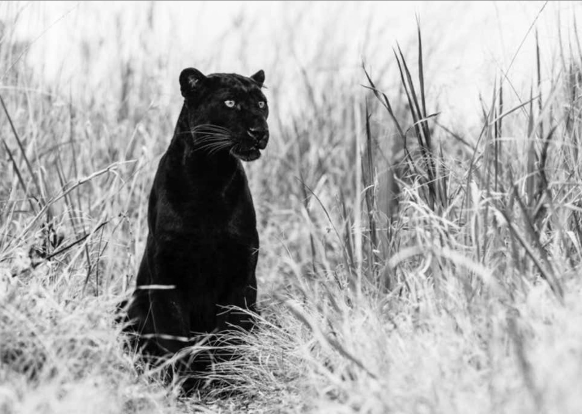 Bagheera, South Africa