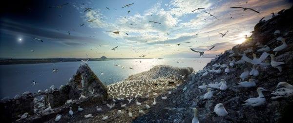 Northern Gannets, Bass Rock, Scotland, Day to Night