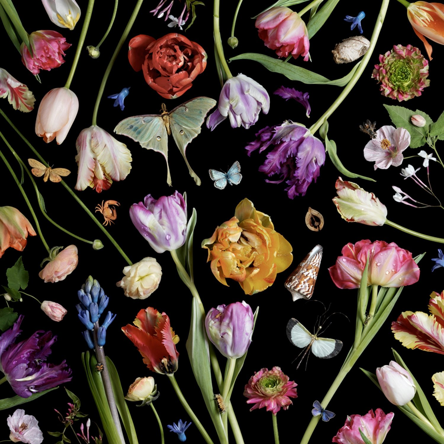 Botanical VII, Tulips