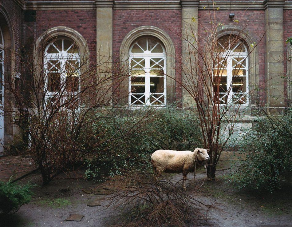 With Sheep - Animals Looking Sideways Series