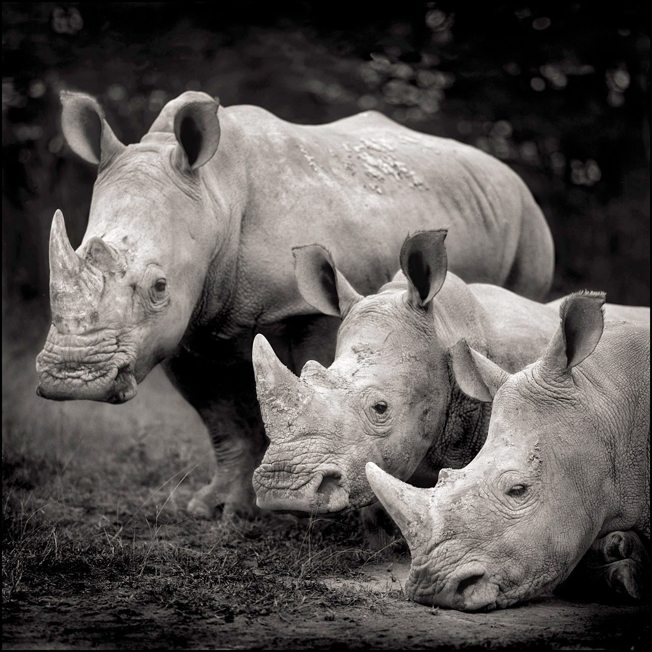 Three Rhinos, Nakuru