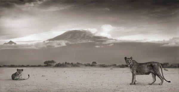Lioness with Kilimanjaro, Amboseli