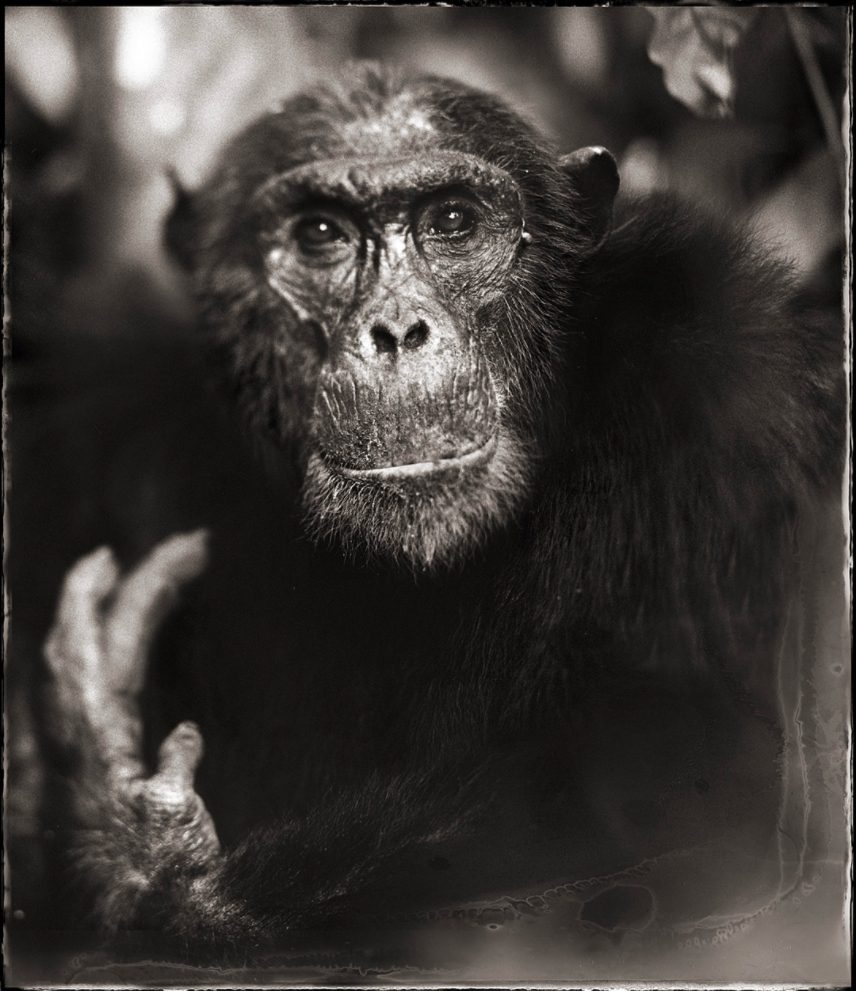 Portrait of Old Chimpanzee with Hand II, Mahale