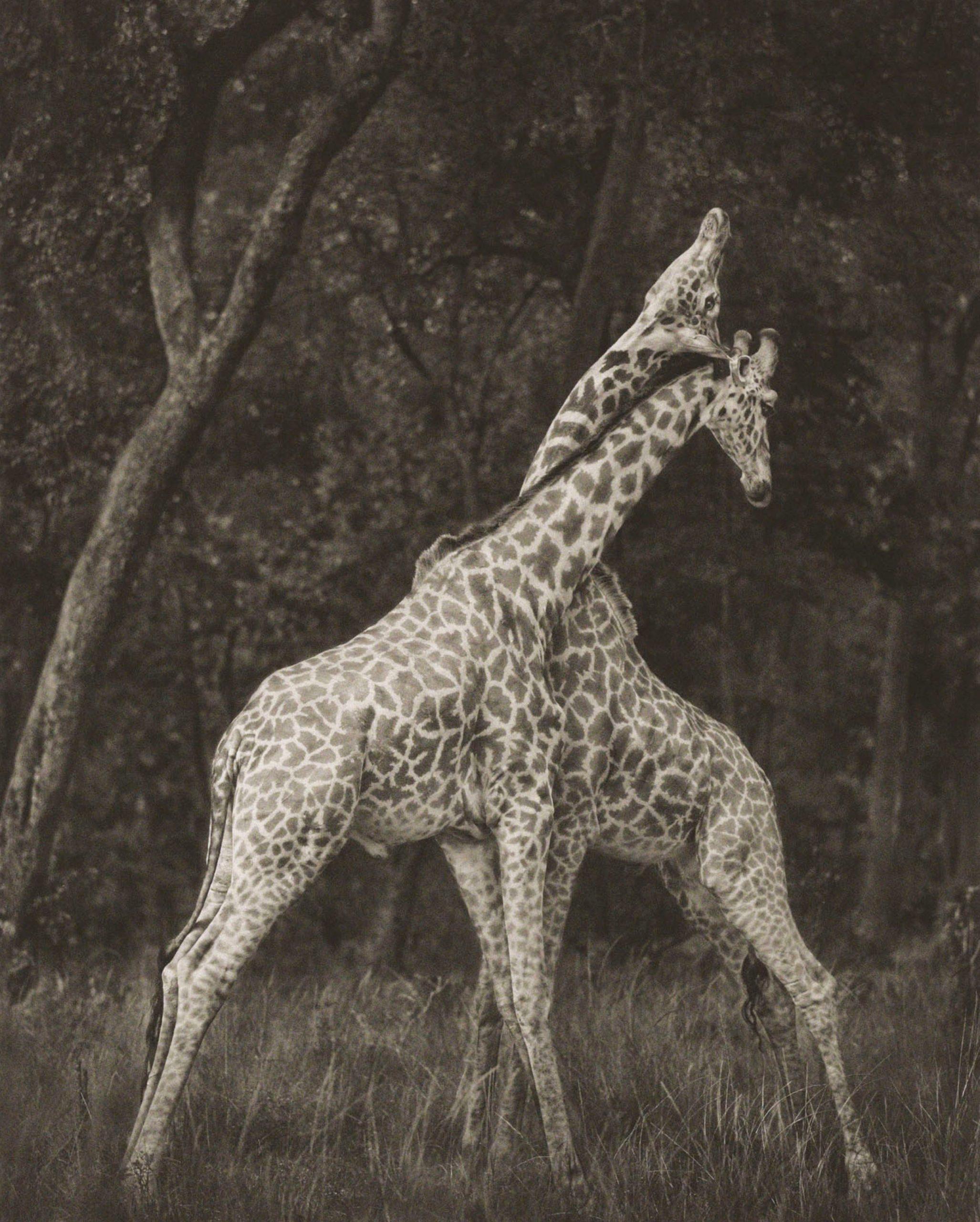 Giraffes Battling in Forest, Maasai Mara