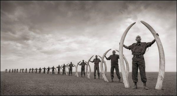 Line of Rangers with Tusks of Killed Elephants, Amboseli