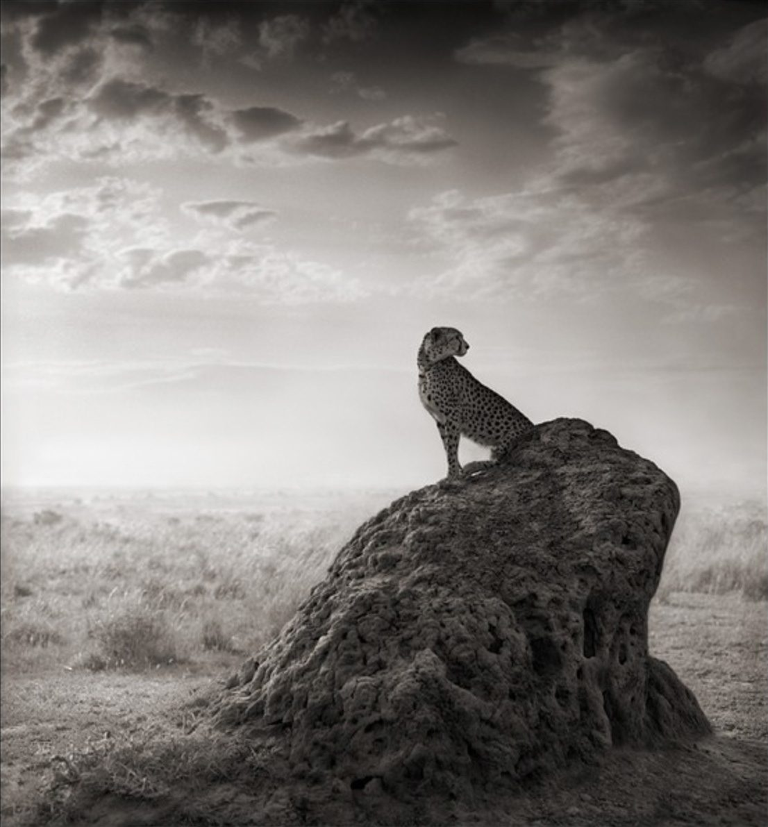 Cheetah on Termite Mound, Masai Mara