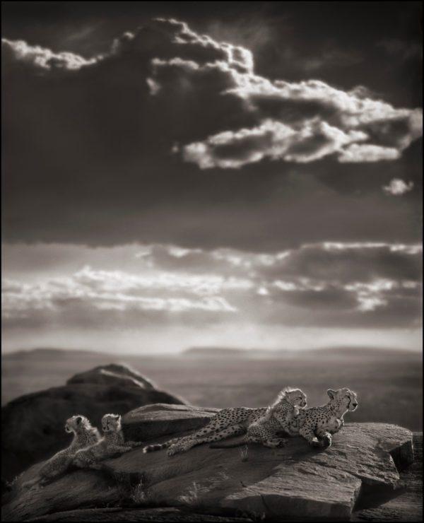 Cheetah & Cubs Lying on Rock, Serengeti