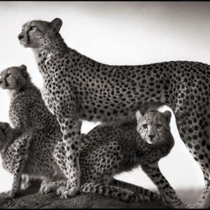 Cheetah & Cubs, Maasai Mara