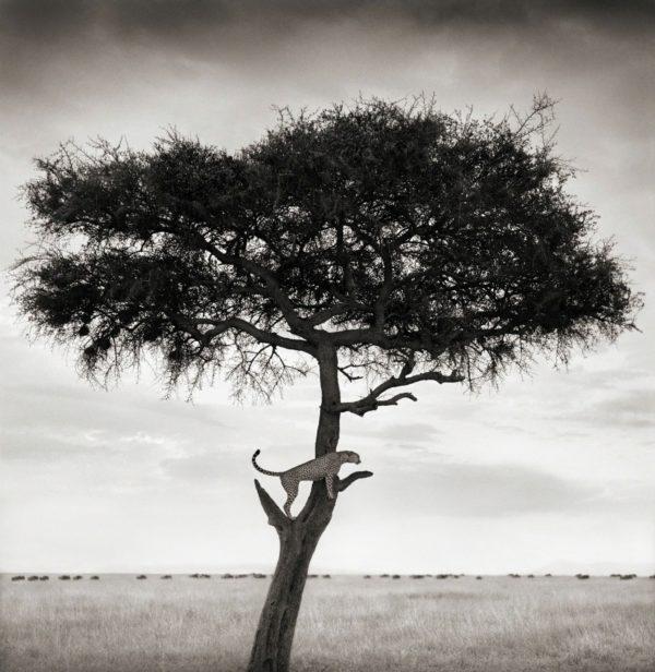 Cheetah in Tree, Maasai Mara