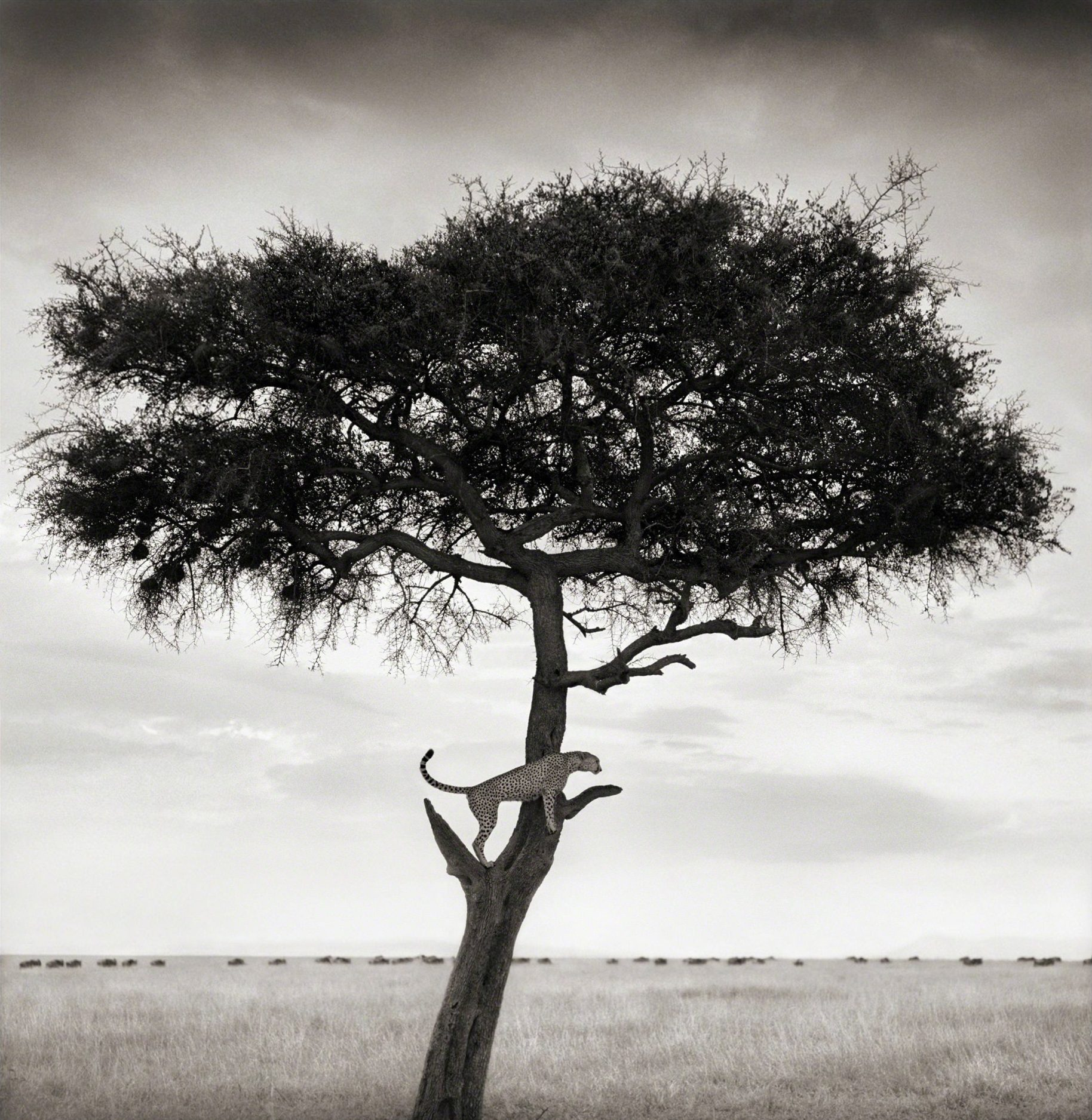 Cheetah in Tree, Maasai Mara