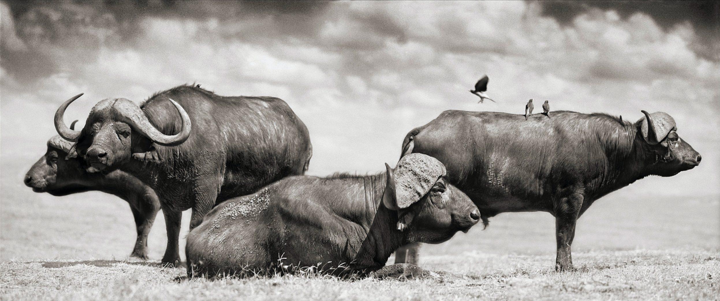 Buffalo Group Portrait, Amboseli