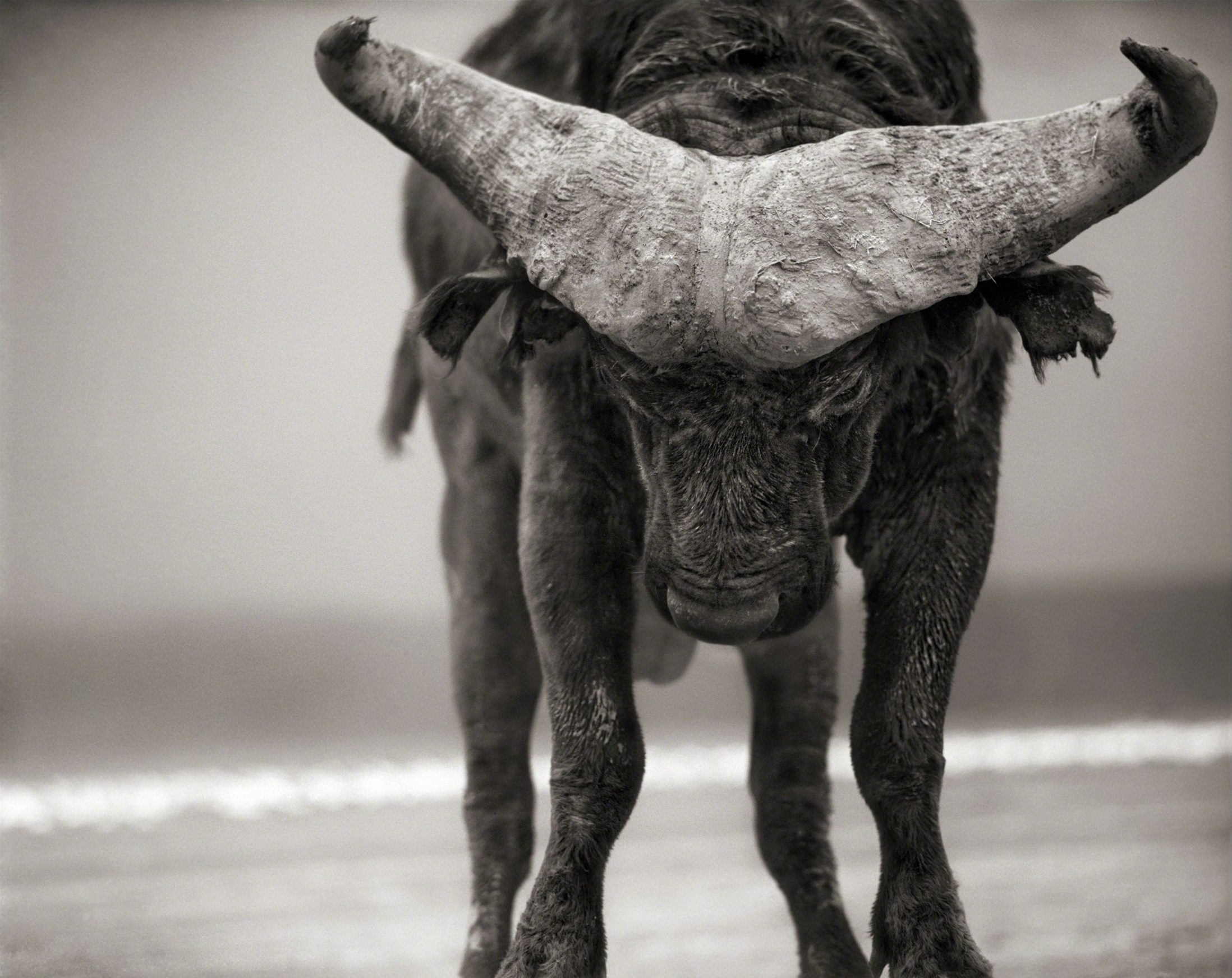 Buffalo with Lowered Head, Amboseli