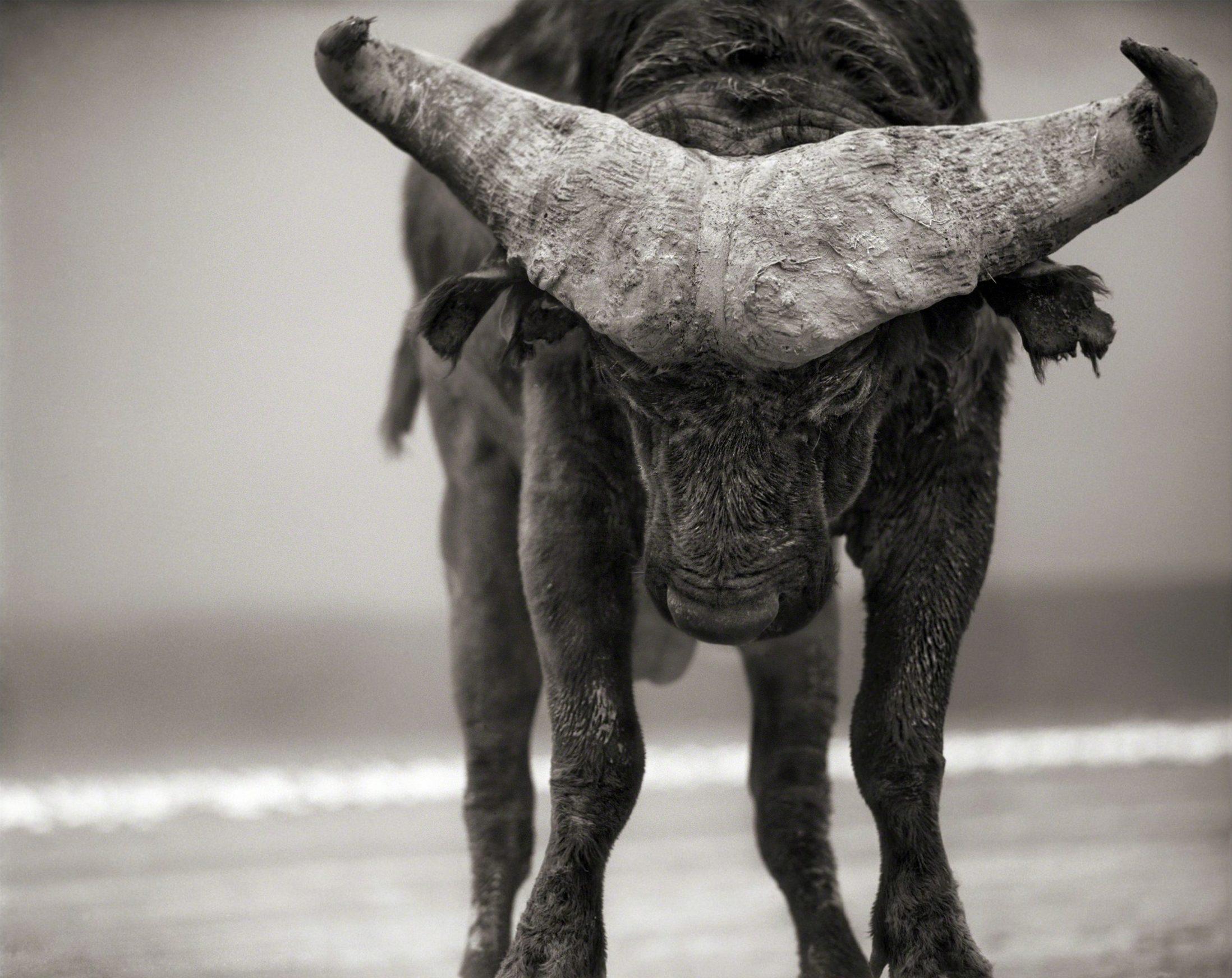 Buffalo with Lowered Head, Amboseli
