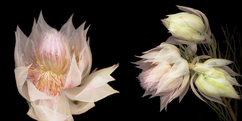 White and Pink Blushing Bride